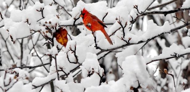 Pássaro repousa entre ramos cobertos de neve no Jardim Japonês do Delaware Park, em Buffalo, Nova York