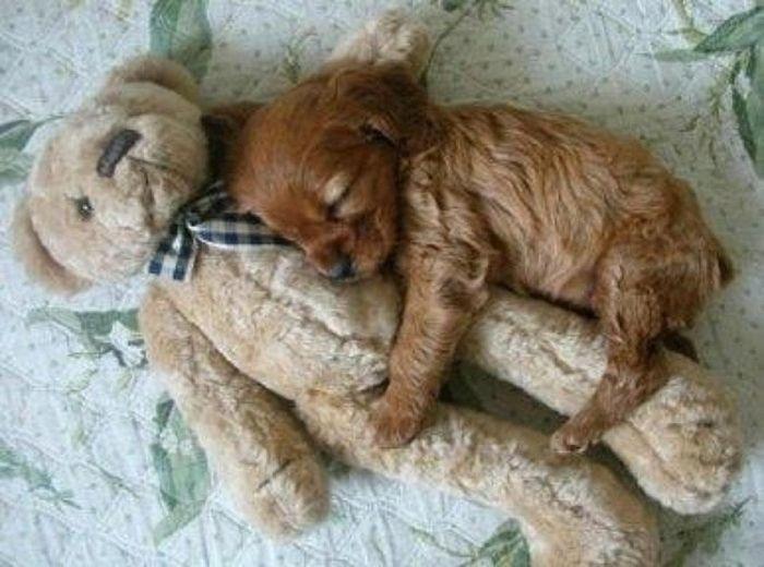 04.dez.2013 - Assim como o cachorrinho, que escolheu um urso de pelúcia para acompanhá-lo na soneca