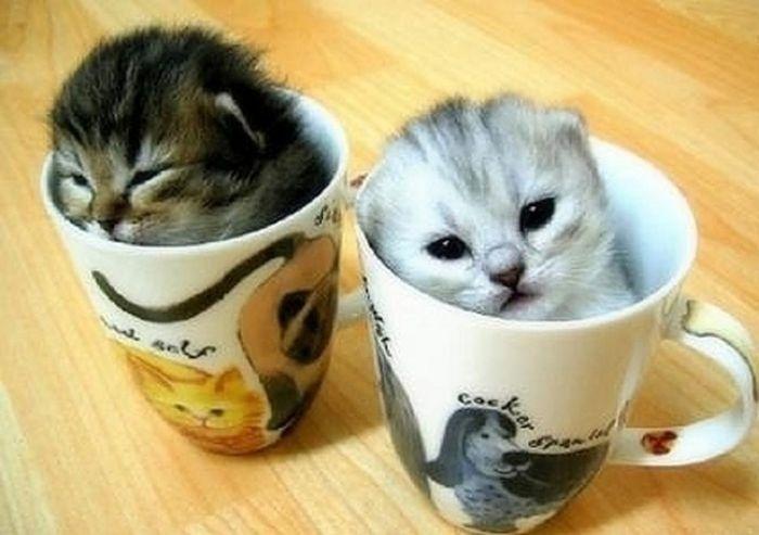 04.dez.2013 - Esses gatinhos também não quiseram ficar fora das xícaras