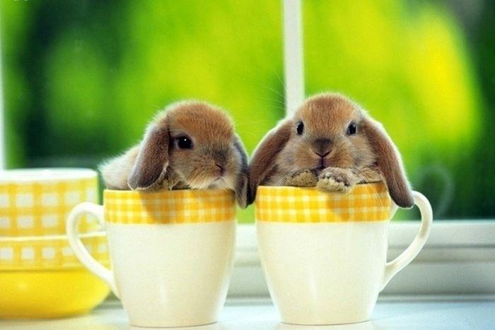 04.dez.2013 - Já os coelhinhos não nadam, mas também cabem em xícaras