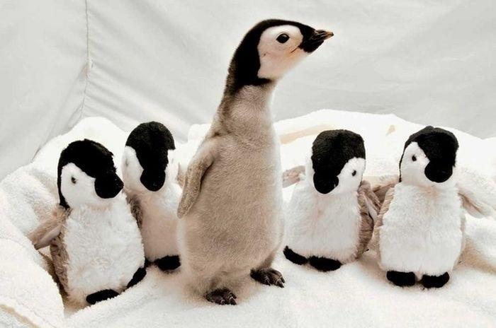 04.dez.2013 - O filhote de pinguim arrumou a companhia de amigos de pelúcia