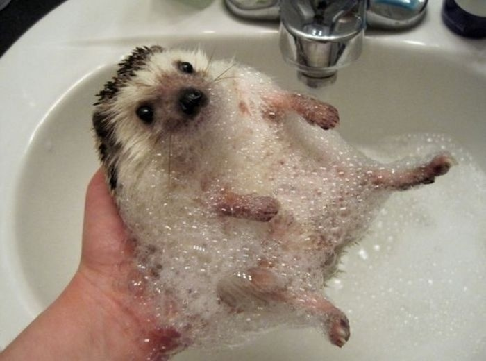 04.dez.2013 - O filhote de proco-espinho resolveu tomar um banho na pia