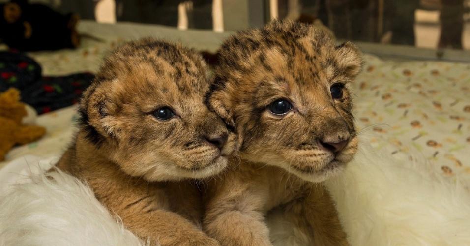 17.dez.2013 - Filhotes recém-nascidos de leão recebem cuidados no zoológico e safari San Diego, na Califórnia (EUA)