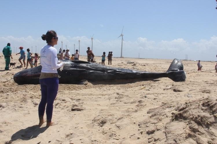 18.dez.2013 - Baleia cacharlote juvenil  encontrada morta e encalhada na praia Pedra do Sal, litoral de Parnaíba (a 340km de Teresina). O animal tinha 6,5 m de comprimento