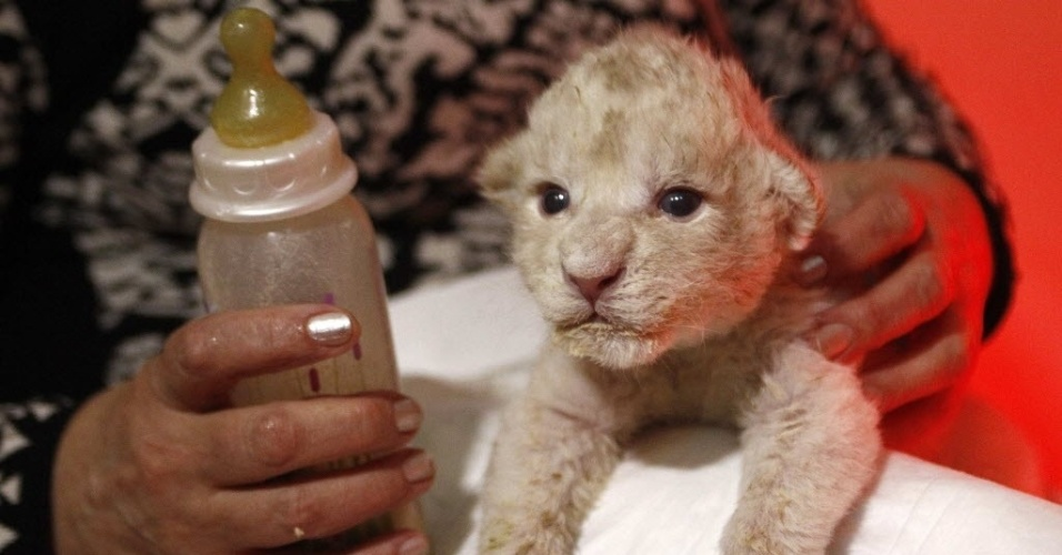 16.dez.2013 - Funcionária do zoológico de Tbilisi, na Geórgia, cuida de um filhote de leão branco de apenas seis dias. Quatro filhotes de leão branco nasceram em 10 de dezembro,  três sobreviveram