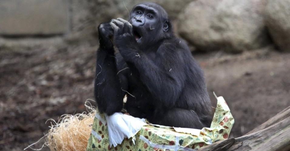 19.dez.2013 - O gorila Zola brinca com o embrulho do presente que ganhou de Natal, nas suas instalações no zoológico Darwineum de Rostock, na Alemanha, nesta quinta-feira (19)