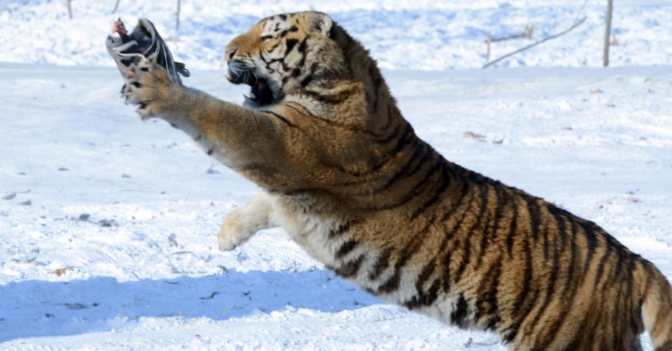 6.jan.2014 - Um tigre siberiano tenta pegar um frango lançado por um guarda de caça para entreter visitantes no parque de tigre siberiano, na província de Heilongjiang, no nordeste da China, nesta segunda-feira (6). O local foi construído em 1996 e está situado na margem norte do rio Songhua. É o maior parque natural de tigres siberianos do mundo