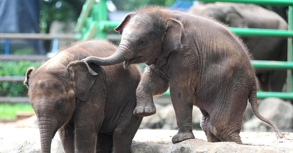 10.jan.2014 -  Casal de filhotes de elefantes brinca no zoológico Ragunan em Jacarta, na Indonésia