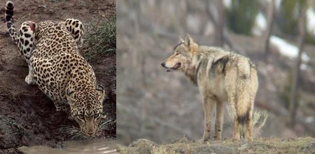 À esquerda, um leopardo, importante predador, que está em sério declínio. À direita, lobos são um dos importantes grupos de predadores que estão desaparecendo e causando danos ecológicos