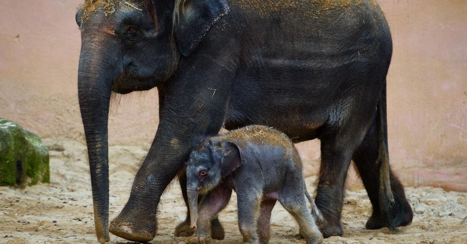 3.jan.2014 - Bebê elefante recém-nascido caminha ao lado da mãe Manari em seu cercado no zoológico de Hanover, na Alemanha. O elefantinho aumenta a contagem de animais no zoológico, que realiza seu inventário anual