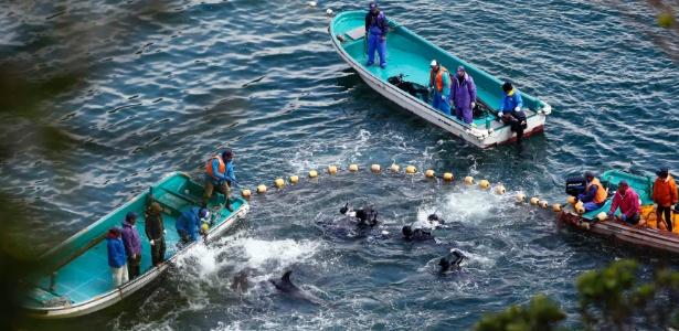Pescadores japoneses caçam golfinhos em Taiji, no Japão