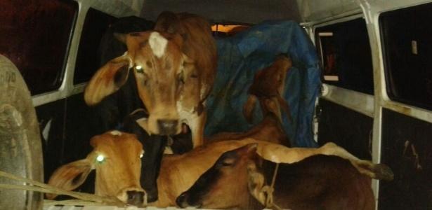 Homens são detidos transportando vacas dentro de uma Kombi no interior de Minas Gerais