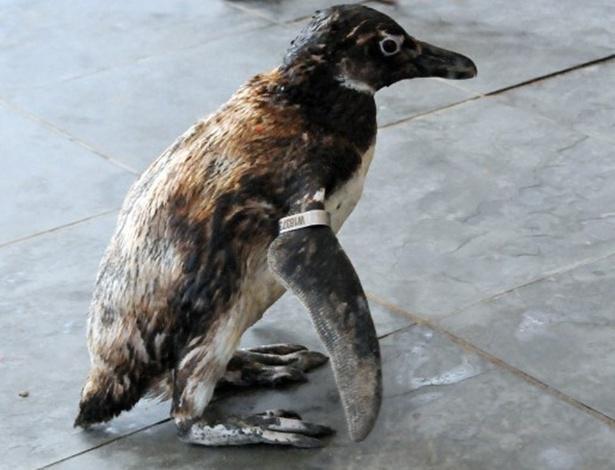 Pinguim-de-magalhães encontrado nesta terça-feira (21) na Praia Grande, litoral de São Paulo