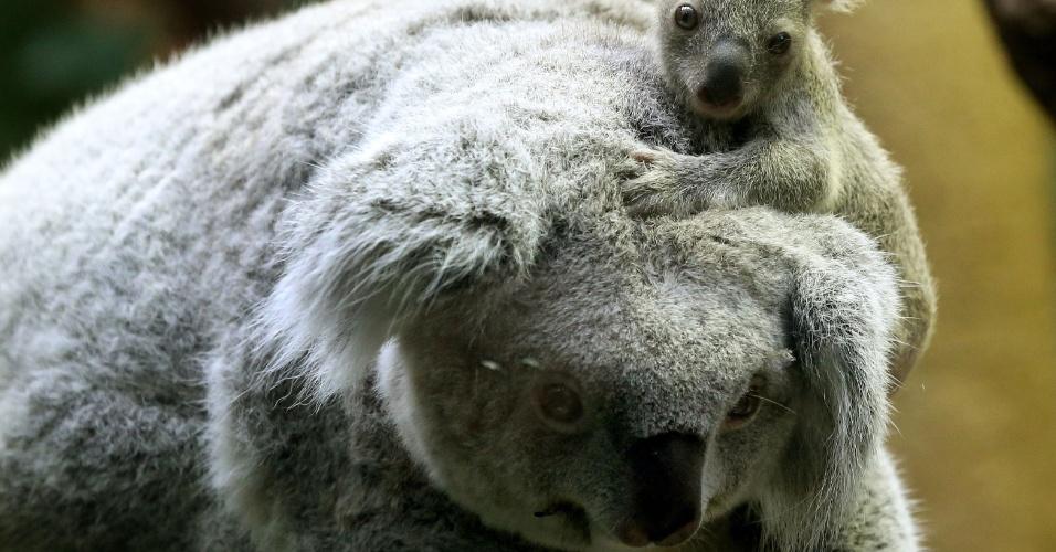 22.jan.2014 - Com apenas seis meses de vida, o bebê coala fêmea senta-se sobre a cabeça de sua mãe no zoológico de Duisburg, oeste da Alemanha