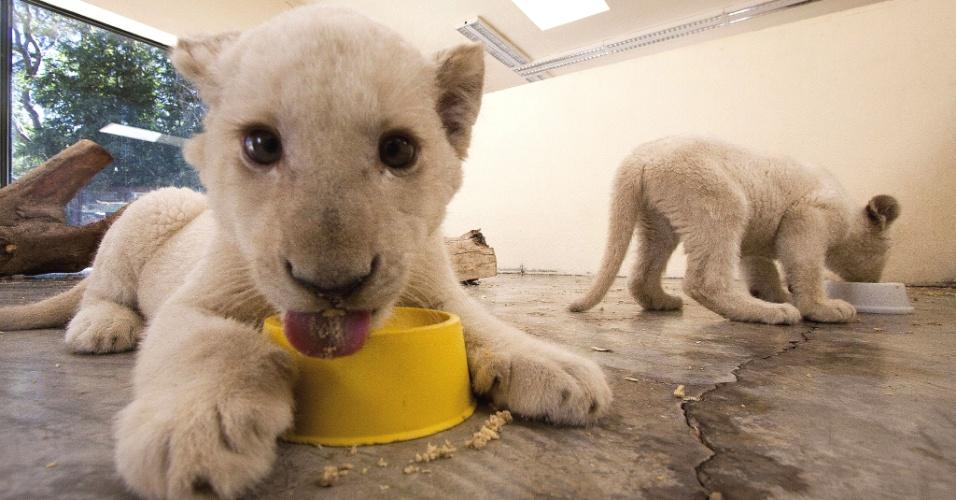 30.jan.2014 - Filhotes de leão branco comem no zoo de Guadalajara, México, nesta quinta-feira (30). Os dois nasceram há apenas 90 dias e serão transferido para novos jardins zoológicos