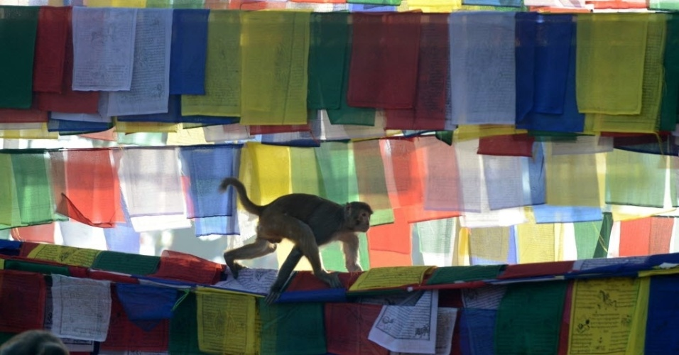 4.fev.2014 - Macaco anda sobre bandeiras com orações no templo de Saraswati, em Katmandu, no Nepal, durante o festival Basanta Panchami. O festival marca a chegada da primavera no Nepal, onde os devotos rezam para a deusa hindu da educação, Saraswati, pedindo conhecimento