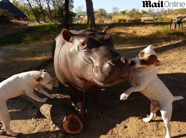 5.fev.2014 - O bebê hipopótamo Douglas brinca com os cães Molly e Coco, na Zâmbia. Segundo o Daily News, o filhote foi encontrado aos dois meses de idade, após ser abandonado pela mãe, pelo Conservation Lower Zambezi e lá desenvolveu uma amizade inseparável com os cães. Ele espera para se juntar a outros animais da sua espécie, que vivem próximos ao rio Luangwa