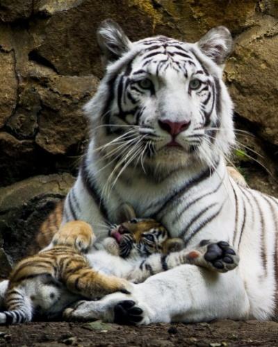 7.fev.2014 - Em imagem divulgada nesta sexta-feira (7), Indira, uma tigresa de bengala branca, deita-se com um dos seus três filhotes no zoológico de Cali, na Colômbia, na quinta-feira (6). Os filhotes nasceram no dia 30 de novembro de 2013