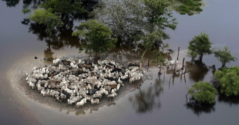 8.fev.2014 - Imagem aérea mostra gado ilhado em região inundada da província Ballivian, na região amazônica de Beni, na Bolívia. As chuvas que afetam o país desde outubro passado já deixaram ao menos 31 mortos, seis desaparecidos e 45 mil famílias desabrigadas. O mau tempo também causou a morte de cerca de 9.000 cabeças de gado, informou a Defesa Civil