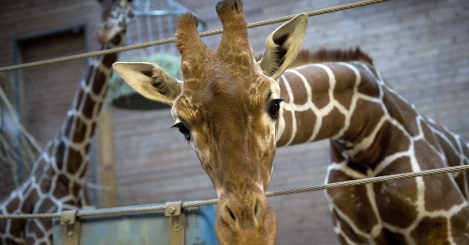 9.fev.2014 - Foto tirada na sexta-feira (7) mostra Marius, uma jovem girafa macho, perfeitamente saudável, que foi morta a tiros e autopsiada na presença de visitantes do zoológico em Copenhagen,capital da Dinamarca, neste domingo (9)