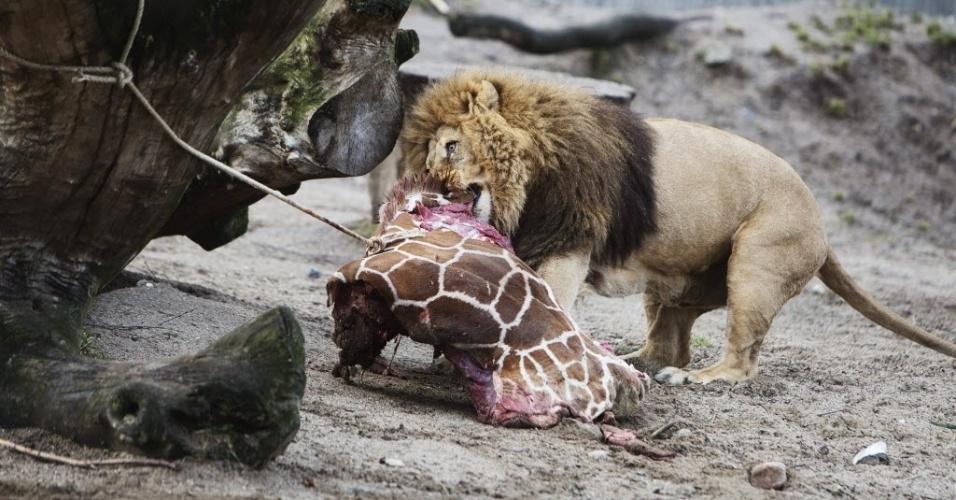 9.fev.2014 - Leão se alimenta com os restos mortais da girafa macho Marius, que tinha dois ano, neste domingo (9) no zoológico de Copenhagen, na Alemanha, onde o mamífero foi morto no início do dia. Apesar de milhares terem assinado uma petição on-line e outros zoológicos europeus se oferecido para levá-lo, a girafa foi abatida. O zoológico disse que não tinha escolha, por causa de seu dever de evitar a reprodução da espécie. Parte da carcaça será usado em pesquisas