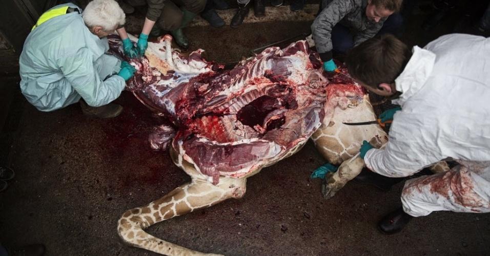 9.fev.2014 - Na presença do público, veterinários do zoológico realizam a autópsia da jovem girafa macho, perfeitamente saudável, chamada Marius, que foi morta a tiros em Copenhague neste domingo (9). Marius foi morto apesar de uma petição on-line para salvá-lo assinada por milhares de amantes dos animais
