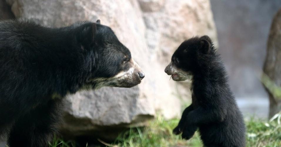 12.fev.2014 - Um urso, ainda sem nome, de cinco meses de idade, explora o jardim ao lado da mãe, Huanca, no zoológico de Duisburg, Alemanha