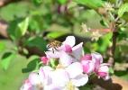 Desaparecimento de abelhas: Fenômeno ameaça segurança alimentar - Nilson Teixeira/Epagri/Divulgação