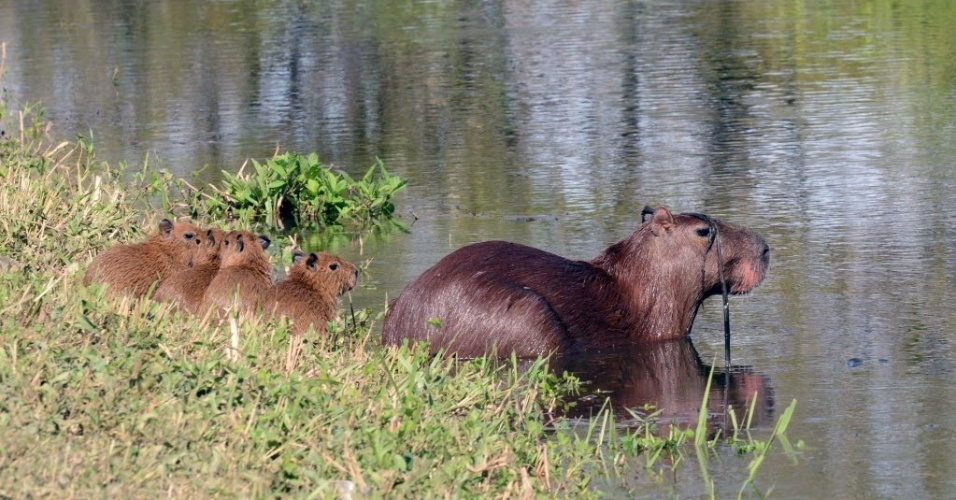 18.fev.20-14 - Capivaras em área alagada do rio Mamoré, em Trinidad, na Bolívia