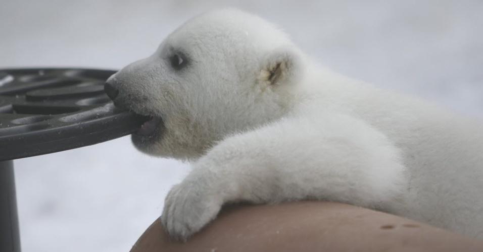 18.fev.2014 - Filhote de urso polar brinca no Zoológico de Toronto, no Canadá. O filhote nasceu em 9 de novembro de 2013 e foi apresentado ao público nesta segunda-feira (17). Um concurso online para decidir o nome do ursinho de 13 kg termina no dia 3 de março