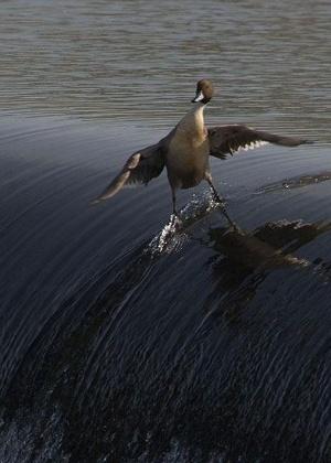 19.fev.2014 - E quem foi que disse que patos não podem surfar? Este aqui discorda