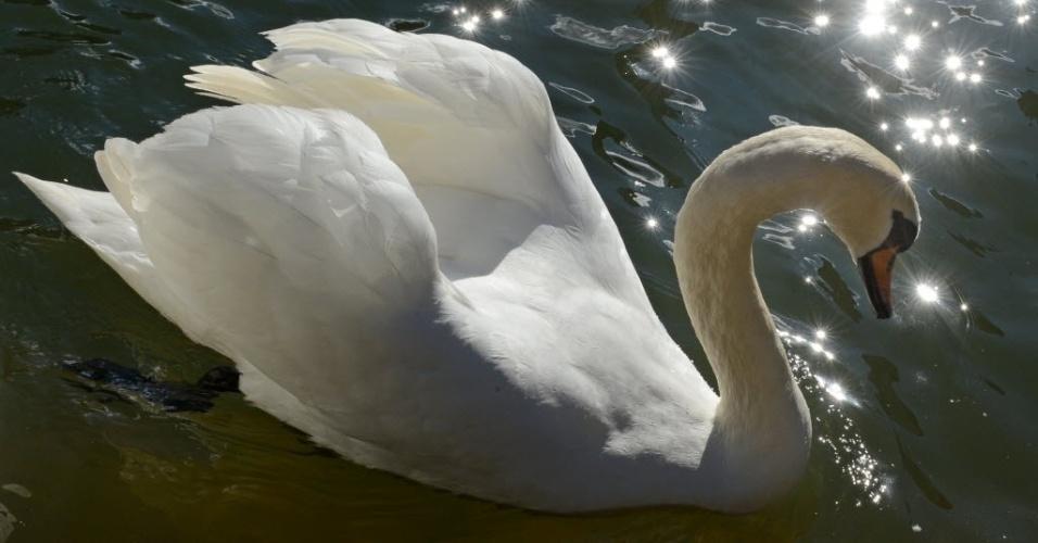 20.fev.2014 - Um cisne nada no rio Neckar, enquanto o sol brilha em Tuebingen, na Alemanha, nesta quinta-feira (20)