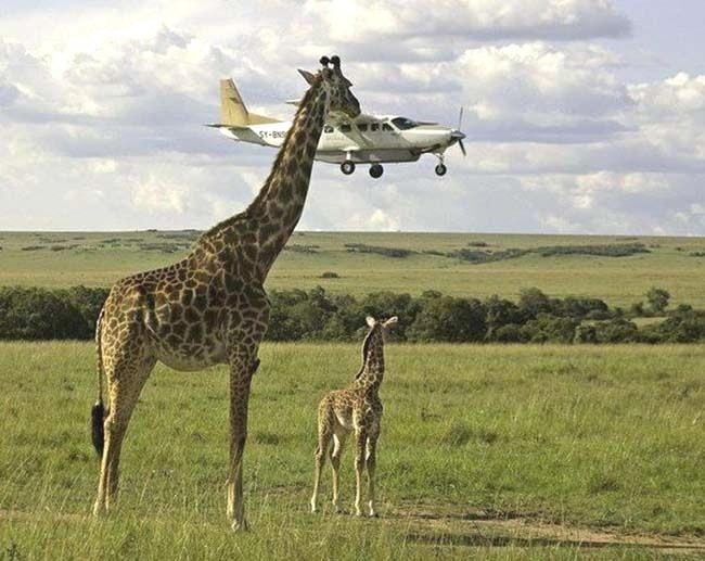 "Girafa ""beija"" avião"