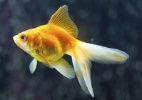 Você pode ser preso por ter um peixinho dourado em casa na Suíça (Foto: Thinkstock)