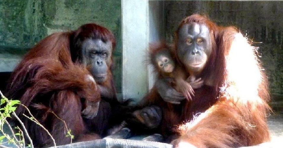 1º.mar.2014 - O filhote fêmea de orangotango Niu-fang, que nasceu em 11 de outubro passado, se agarra à sua mãe, Xiang-niu, no zoológico de Taipé, em Taiwan