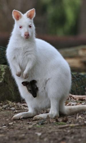 4.mar.2014 - Filhote de canguru de três meses se protege dentro de bolsa na barriga de uma canguru fêmea em um zoológico em Zlin, na República Tcheca