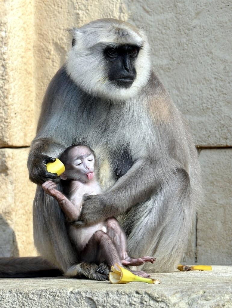 6.mar.2014 - Macaco langur  cinzento alimenta filhote com uma banana no zoológico de Hanover, Alemanha