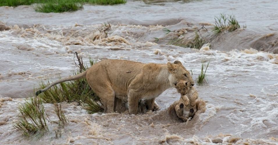 6.mar.2014 - Os leões são os únicos felinos que vivem em grupos, com fêmeas vivendo juntas em bandos supervisionados por machos, que competem pelo poder em batalhas frequentemente fatais