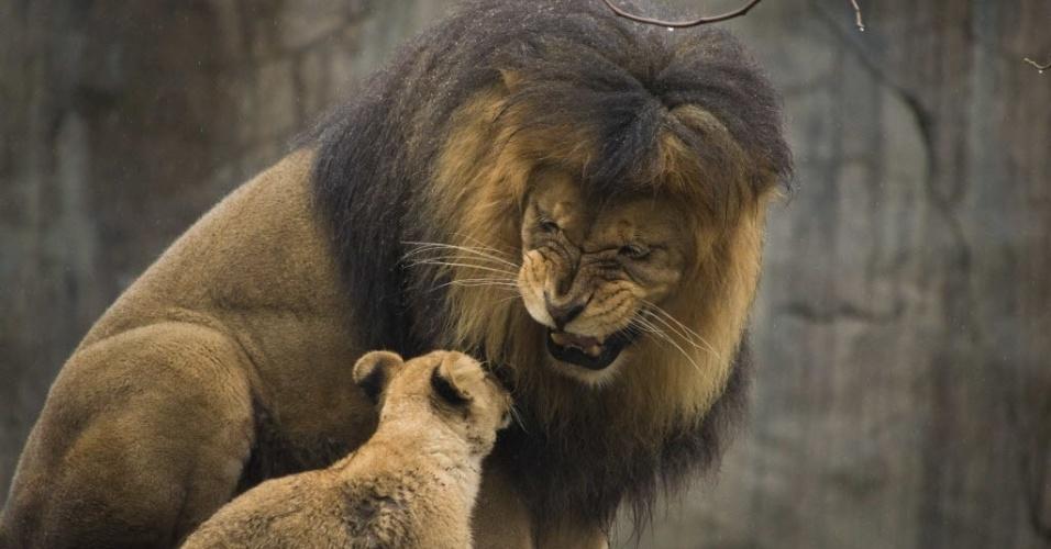7.mar.2014 - Leão Zawadi Mungu ruge para o seu filhote pela primeira vez no habitat dos predadores de Serengeti no zoológico do Oregon, em Portland, nos Estados Unidos, em foto tirada no último dia 27 e publicada nesta sexta-feira (7)