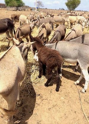 Jumentos confinados para o abate no Rio Grande do Norte