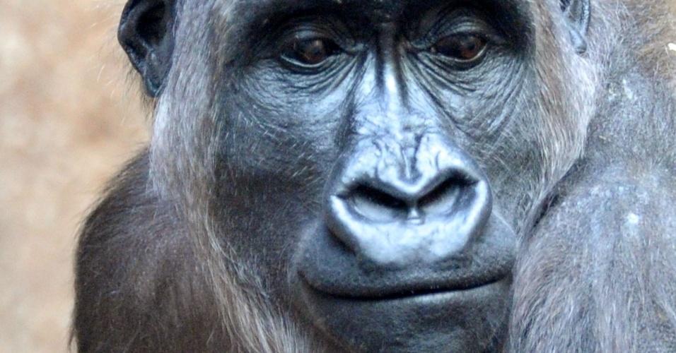 14.mar.2014 - Uma gorila, Kumili, segura seu bebê nesta sexta-feira (14), no zoológico de Leipzig, na Alemanha oriental. O bebê gorila nasceu durante a noite de 10 de março no jardim zoológico