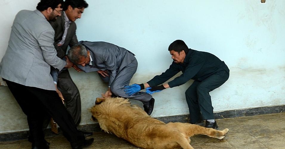 18.mar.2014 - Tratador tenta segurar o leão Marjan, que queria brincar com uma pessoa dentro de sua jaula no jardim zoológico de Cabul, no Afeganistão. O animal foi resgatado do telhado de uma casa, onde era mantido pelo dono como símbolo de status entre a vizinhança