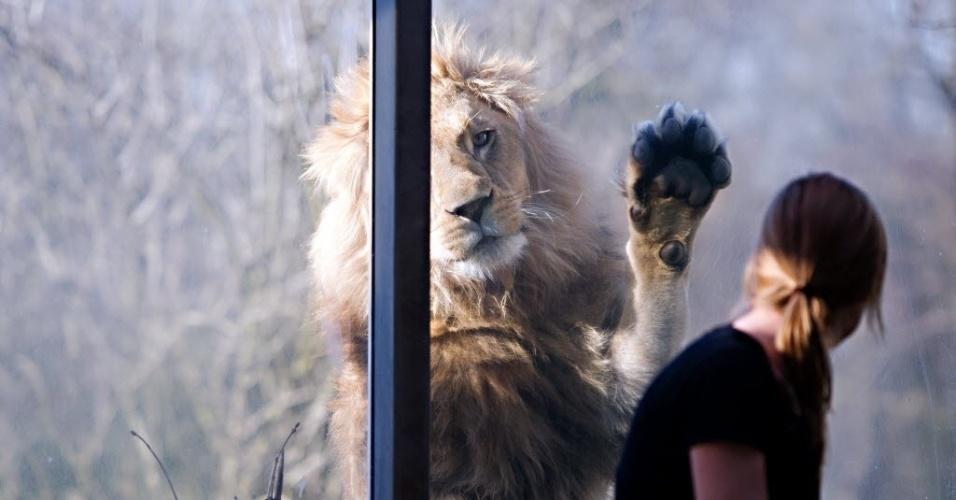 21.mar.2014 -  Leão Max observa sua tratadora através de uma janela no zoológico Hellabrunn em Munique, Alemanha