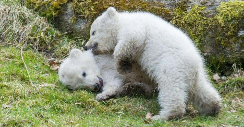 22.mar.2014 -  Filhotes de urso polar brincam no zoológico Hellabrunn, em Munique (Alemanha)