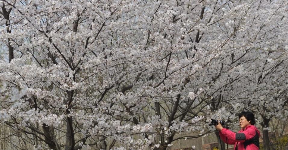 26.mar.2014 - Turistas fotografam flores de cerejeira em montanha de Zouping, na China