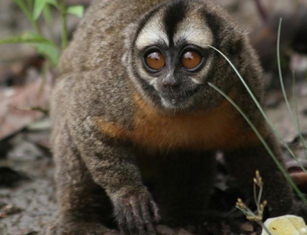 """Macacos da noite (""""Aotus azarae) são os primeiros primatas (além dos humanos) a demonstrar fidelidade e monogamia. Em 18 anos de observação, os cientistas nunca viram os macacos traírem, e testes revelam uma monogamia genética, onde o pai e mãe criam o filho biológico. A fidelidade seria explicada, segundo os cientistas, pelo significante envolvimento do pai na criação da prole"""