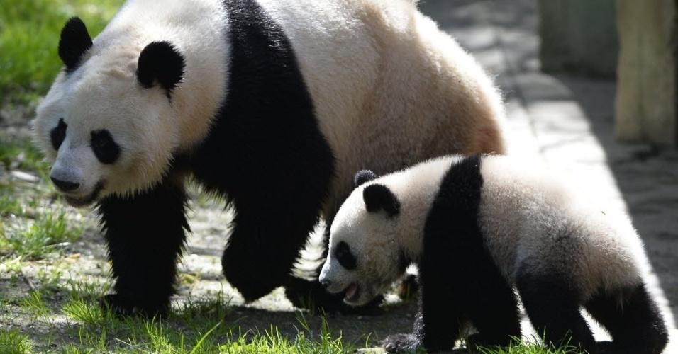 9.abr.2014 - O panda gigante Xing Bao, de sete meses de idade, caminha ao lado da mãe, Hua Zui Ba, no Zoo Aquarium, em Madri, na Espanha, nesta quarta-feira (9). Xing Bao é o quarto panda nascido em cativeiro no zoológico
