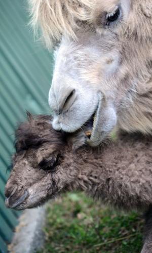 15.abr.2014 - Iris (à dir.), mãe do camelo Ilias (à esq.), faz um carinho no filho, no zoológico de Budapeste, nesta terça-feira (15). O filhote nasceu no dia 8 de abril