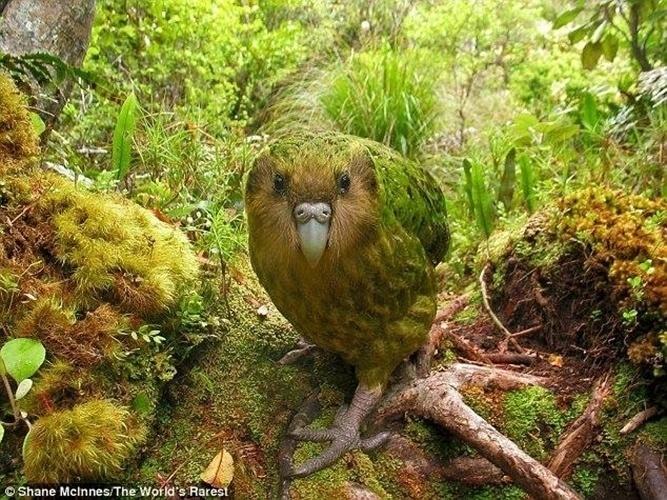 29.abr.2014- O kakapo (Strigops habroptila) é um grande papagaio nativa da Nova Zelândia extremamente ameaçado de extinção. Hoje, existem apenas 126 aves da espécie na natureza. Ele é classificado como criticamente em perigo de extinção, o grau mais grave antes da extinção. São 78 adultos em idade reprodutiva que são ameaçados pela ocupação humana que introduziu novos predadores e também diminuiu a quantidade e tipo de vegetação local que serve de alimento para a ave