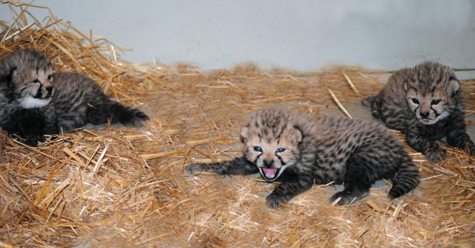 2.mai.2014 - Filhotes trigêmeos de guepardo brincam em zoológico Tiergarten Schoenbrunn, em Viena, na Áustria. Os filhotes nasceram no último dia 16